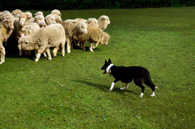 Dog owners are being warned after recent sheep attacks