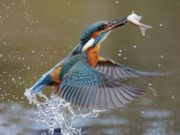 A kingfisher has been spotted at the lake in Portlaoise